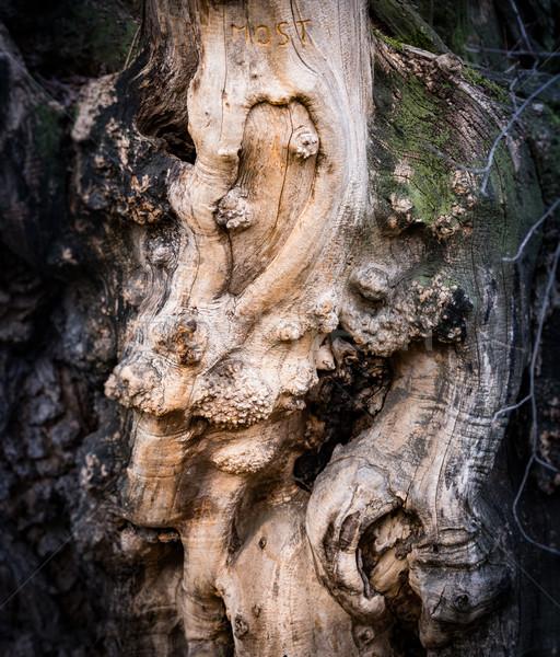 Кора старые дерево подробный мнение Сток-фото © kyolshin
