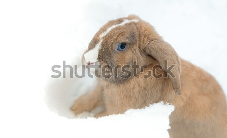 Funny cute rabbit with blue eyes sitting in snow. Stock photo © kyolshin
