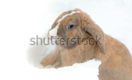 Vicces aranyos nyúl kék szemek ül hó Stock fotó © kyolshin