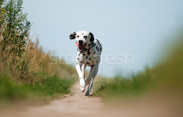 Front View of Dalmatian Dog Running on Path Stock photo © kyolshin
