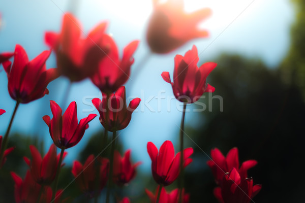 Beautiful red tulips in field in spring. Stock photo © kyolshin