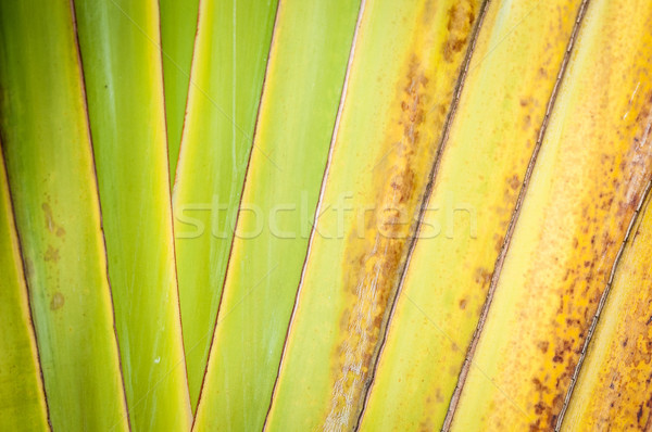 Close up of dry palm leaf as abstract background. Stock photo © kyolshin