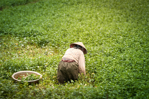 Person working on rice plantation in Vietnam. Stock photo © kyolshin
