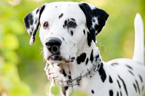 beautiful young dalmatian dog in nature Stock photo © kyolshin