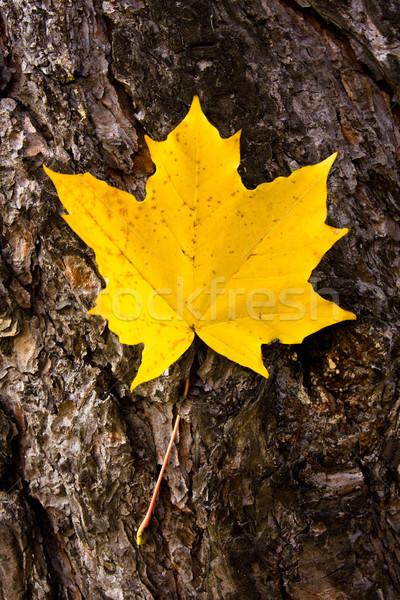 maple leaf Stock photo © kyolshin