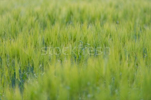 Green grass field in Scandinavia, Norway. Stock photo © kyolshin