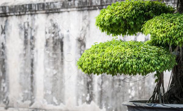 Verde bonsai soleado tiempo follaje Foto stock © kyolshin