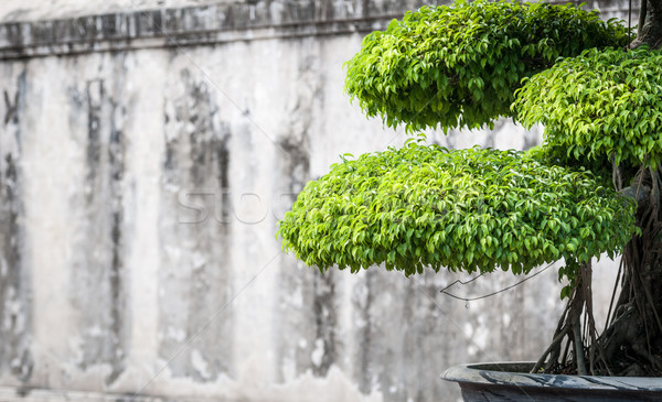 Green lush foliage of bonsai in sunny weather. Stock photo © kyolshin