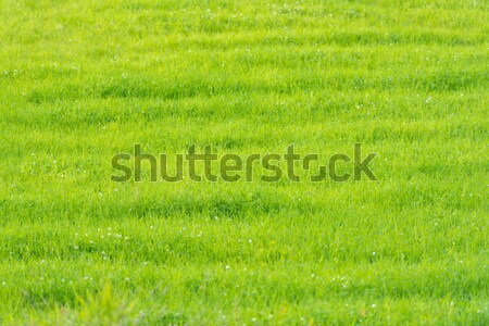 Groen gras veld scandinavië Noorwegen gras abstract Stockfoto © kyolshin