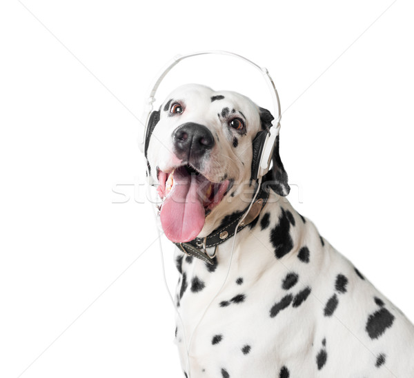 Cute dalmatian dog in headphones and collar. Stock photo © kyolshin
