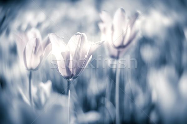 Beautiful tulips on field in grey tone. Stock photo © kyolshin