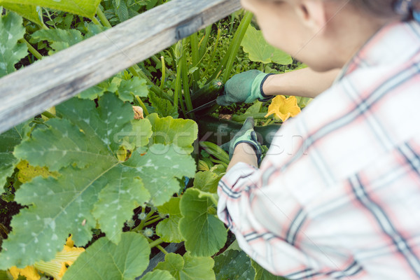 Woman in her garden harvesting cucumbers or courgette Stock photo © Kzenon