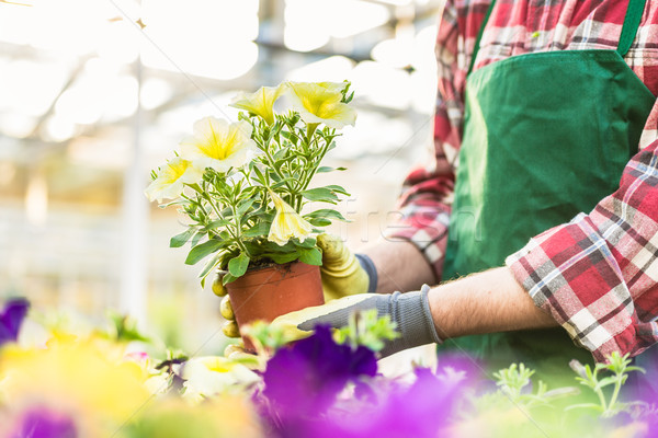 Hand of a florist holding beautiful potted yellow petunias Stock photo © Kzenon