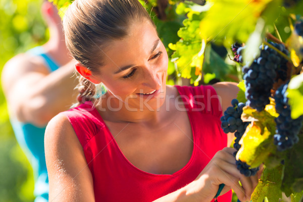 Winegrower picking grapes at harvest time Stock photo © Kzenon
