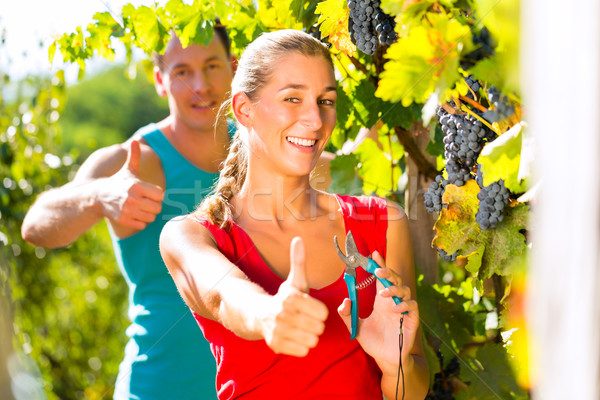 Woman and man winegrower picking grapes Stock photo © Kzenon