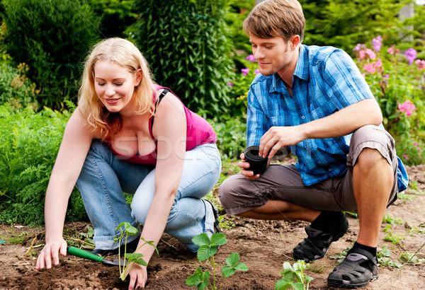 Bahçe çilek fidan çift çalışmak Stok fotoğraf © Kzenon