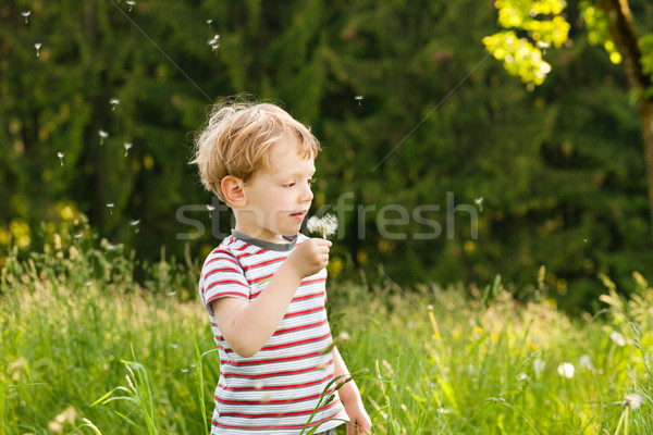 Menino dandelion sementes pequeno semente Foto stock © Kzenon