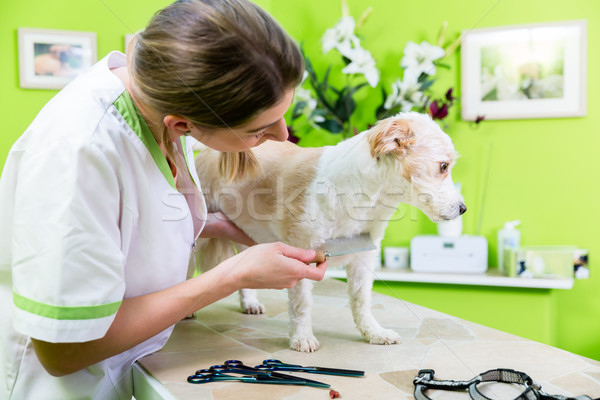 Woman is examining Dog for flea at pet groomer Stock photo © Kzenon