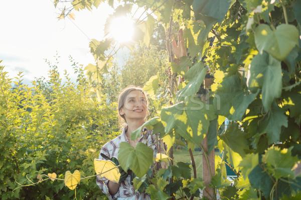 Kobieta ogród ogrodnik pracy winogron piękna Zdjęcia stock © Kzenon