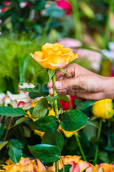Hand of a man picking up a beautiful yellow rose in a modern flower shop Stock photo © Kzenon