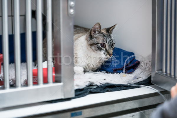 Cat in cage of ICU in veterinarian animal clinic on the drip Stock photo © Kzenon
