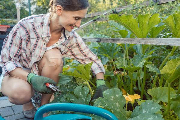 Femme jardin récolte concombres courgette légumes Photo stock © Kzenon