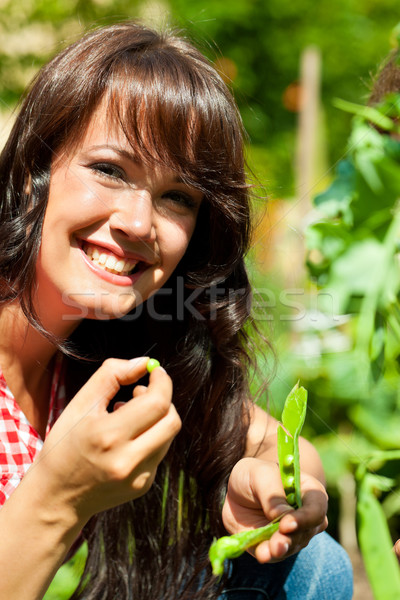 Gardening in summer - woman harvesting peas Stock photo © Kzenon