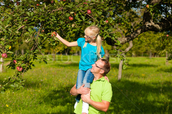 Father and daugther harvesting apples Stock photo © Kzenon