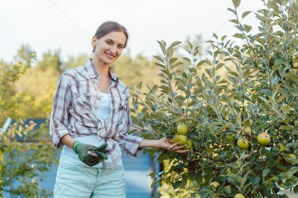 Woman in hobby garden harvesting apples from tree Stock photo © Kzenon