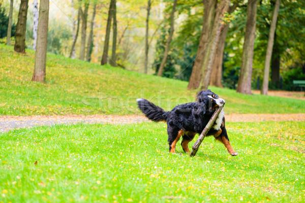 Bernese mountain dog fetching stick Stock photo © Kzenon