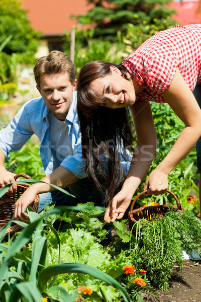 Gardening in summer - couple harvesting carrots Stock photo © Kzenon