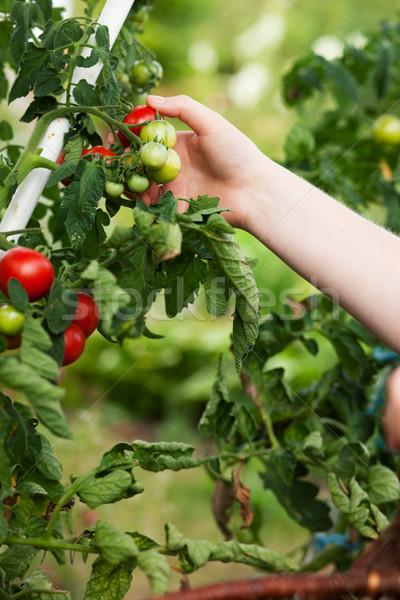 Stok fotoğraf: Kadın · hasat · domates · bahçe · bahçıvanlık · eller