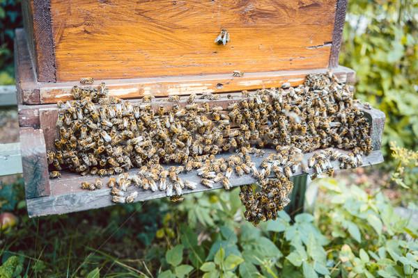 Swarm of bees on a beehouse Stock photo © Kzenon