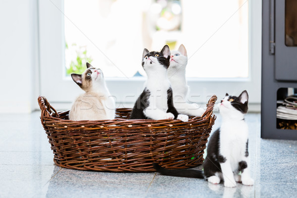 Cute kittens looking up with curiosity Stock photo © Kzenon