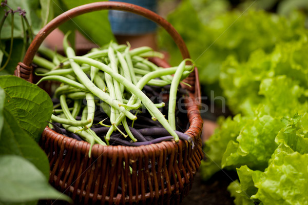 Woman harvesting string beans in her garden Stock photo © Kzenon