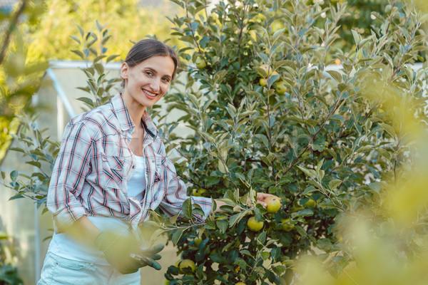 Mujer hobby jardín cosecha manzanas árbol Foto stock © Kzenon