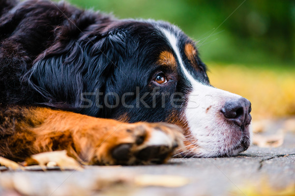 Bernese mountain dog resting in autumn Stock photo © Kzenon