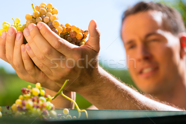 Winegrower working with grape  Stock photo © Kzenon
