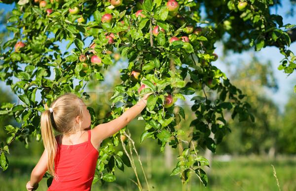 Szőlőszüret almák kislány alma fa időjárás Stock fotó © Kzenon