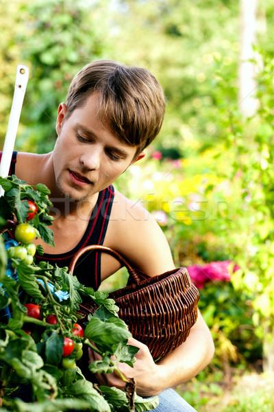 Stok fotoğraf: Hasat · domates · bahçıvanlık · adam · yeme · iç