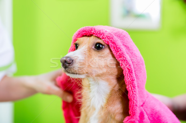Small dog after washing by dog hairdresser in pet grooming salon Stock photo © Kzenon