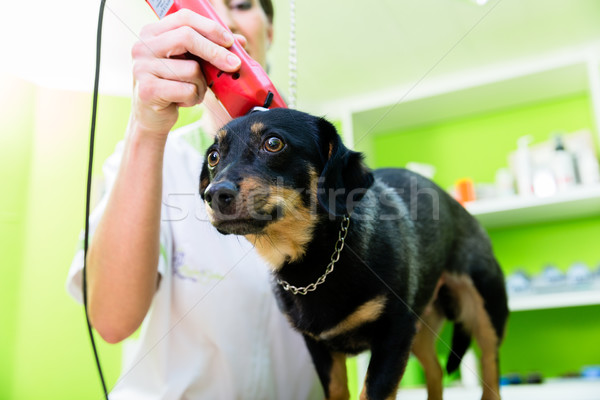 Woman is shearing dog in pet grooming parlor Stock photo © Kzenon
