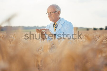Researcher doing field test on new kinds of grain and wheat Stock photo © Kzenon