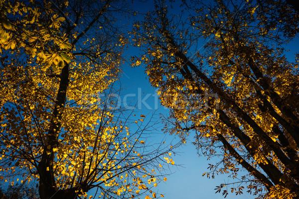 View to sky through trees with yellow foliage in November autumn Stock photo © Kzenon