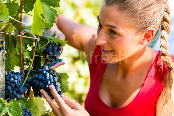 Woman picking grapes at harvest time Stock photo © Kzenon