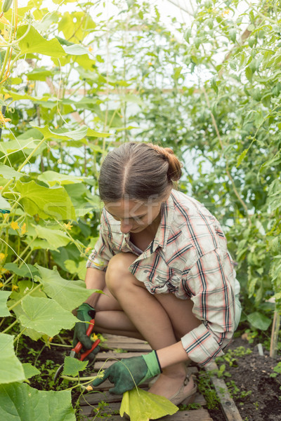 Woman working in green house on tomatoes Stock photo © Kzenon