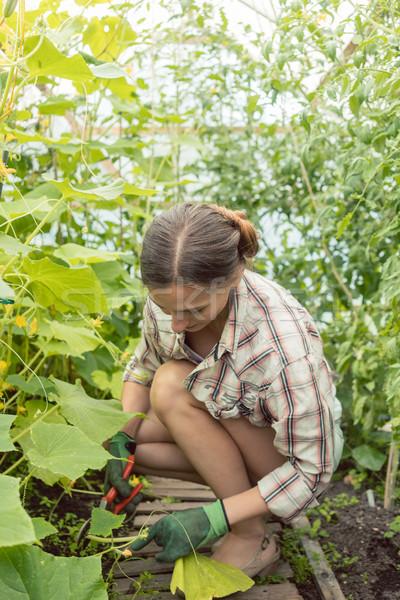 женщину рабочих теплица помидоров красивая женщина работу Сток-фото © Kzenon