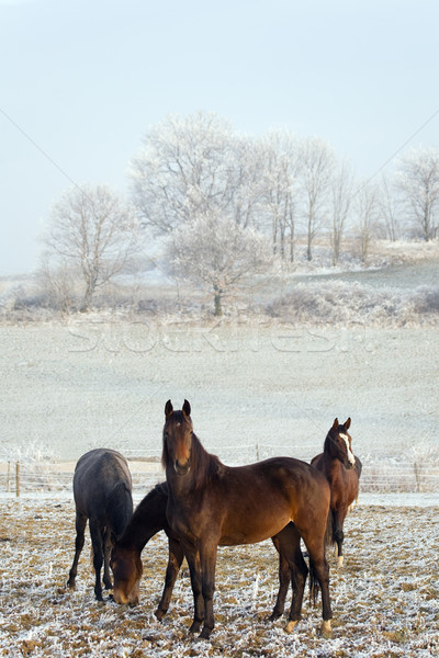 three horses in a winter landscape Stock photo © Kzenon