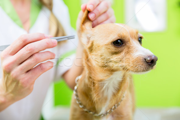 Dog gets ear clearing in pet grooming parlor Stock photo © Kzenon