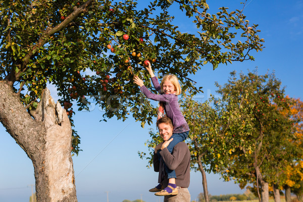 Father and daughter picking apple in autumn or fall Stock photo © Kzenon